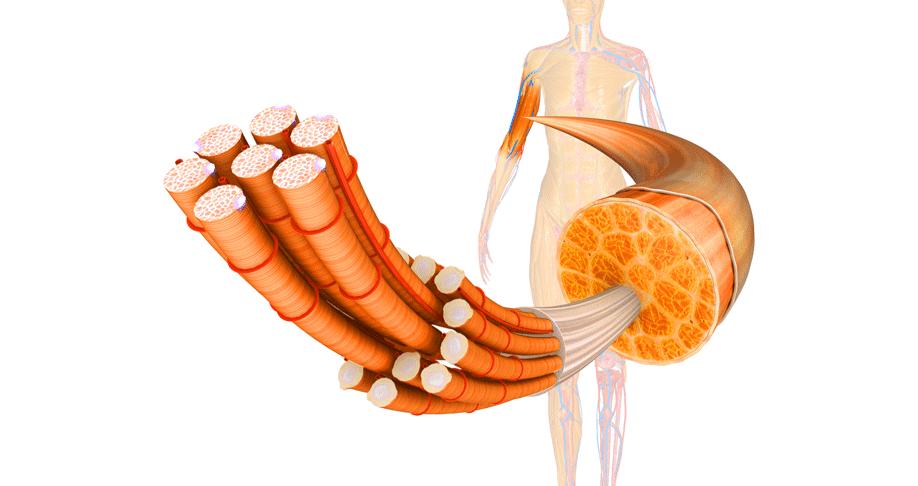 Faszie Muskelfaser - Faszientherapie Kiel - Osteopathie